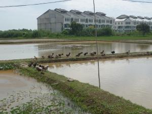 Kawasan Padi Organik, Tunjong, Kelantan.