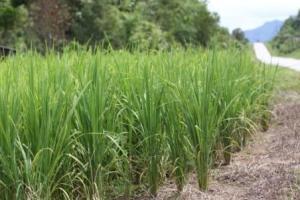 padi huma, upland padi