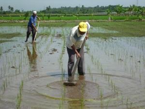 Kerja-kerja Melandak (Merumput & Mengaerasi Tanah)
