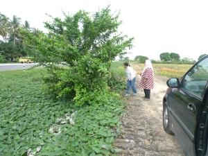 Ketemu Pokok Maja Di Tepi Jalan Raya Sekinchan