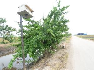 Pokok maja atau labu kayu di jalan parit 6, Sekinchan