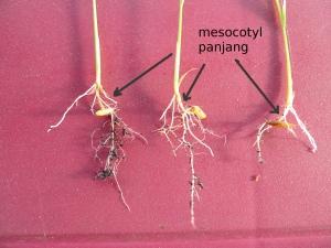 Mesocotyl panjang