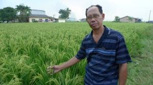 Padi SRI Selangor : Saudara Jaafar Dari Parit 5, Pancang Bedena, Sg Besar