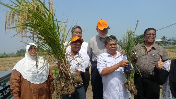 Padi SRI Selangor : Perbandingan Saiz Rumpun Padi SRI dan Padi Ditanam Cara Konvensional