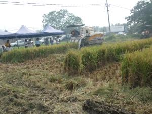 Padi SRI Selangor : Strip Harvesting