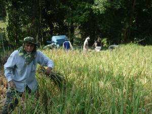 Padi SRI lovely : The First SRI Padi Harvest In Kedah oleh Tuan Haji Marzuki Mat Zain