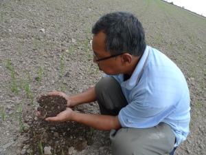 Padi SRI Selangor : Pak Tam Memeriksa Pereputan Jerami