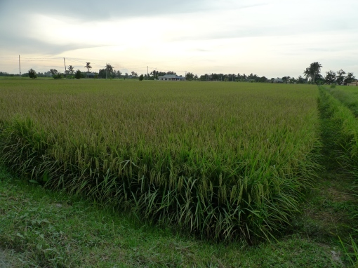 Padi SRI Selangor : Penyakit Bakteria Padi (Bacterial Leaf Blight) Di Sawah Sempadan