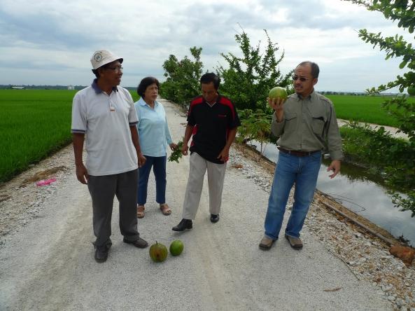 Padi SRI Selangor : Ismat Berkenalan Dengan Labu Kayu