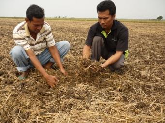 Keadaan Jerami Yang Dihancurkan & Dibajak Roto - 3 Julai, 2011