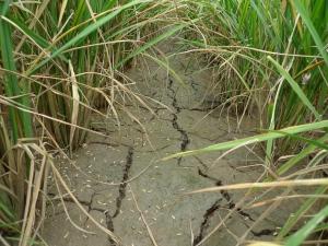 Tanah Sawah Kering dan Merekah Sebulan Sebelum Menuai