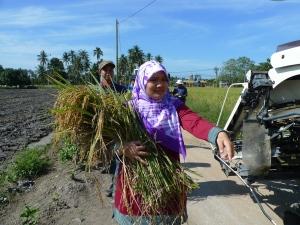 Menuai Padi SRI Organik di Parit 4, Sg Burong (Musim Kedua) 4 Jan, 2012