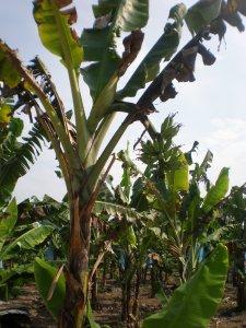 Pokok Pisang Diserang Penyakit Moko