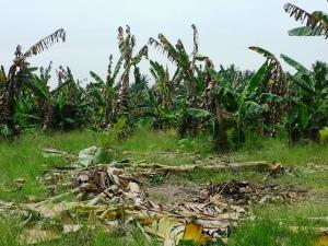 Penyakit Moko : Tanaman Pisang Musnah Oleh Bakteria Ralstonia solanacearum