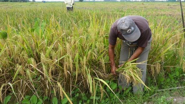 Hj Fuad mengira batang padi
