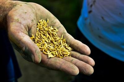 Adakah Bekalan Benih Dalam Tangan Petani? Kalau tidak, bekalan benih dalam tangan siapa?